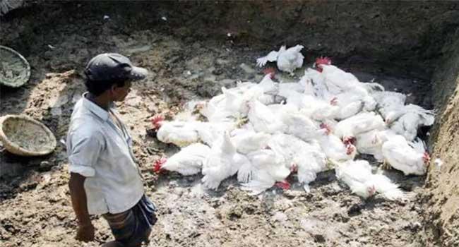 ভারতের বিভিন্ন রাজ্যে ছড়িয়ে পড়েছে 'বার্ড ফ্লু' ভাইরাস